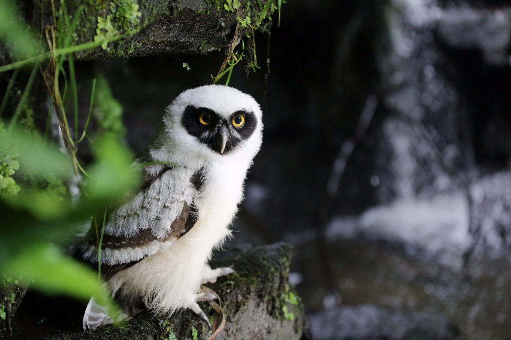 Spectacled Owl - Domino