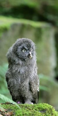BLUEBELL - Great Grey Owl (at 6 weeks)