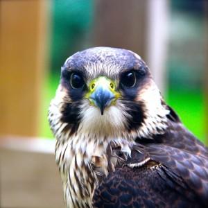 Percy - Peregrine Falcon