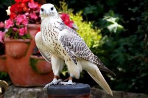 Merlin - Gyr x Saker Falcon