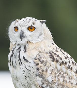 Falconry School Visits - Siberian Eagle Owl
