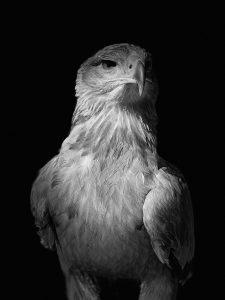 Surenna - Russian Steppe Eagle