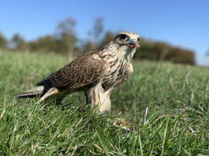 Tyrion - Male Saker Falcon
