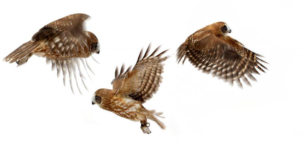 Twix Photoshoot Flying Owl