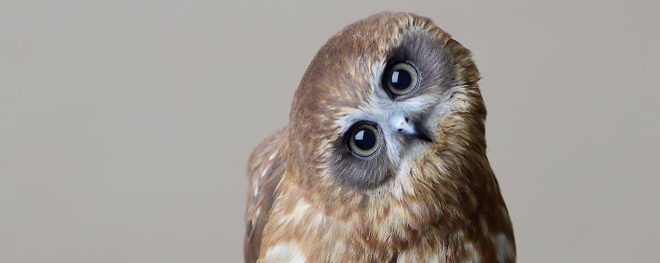 Twix Boobook Owl