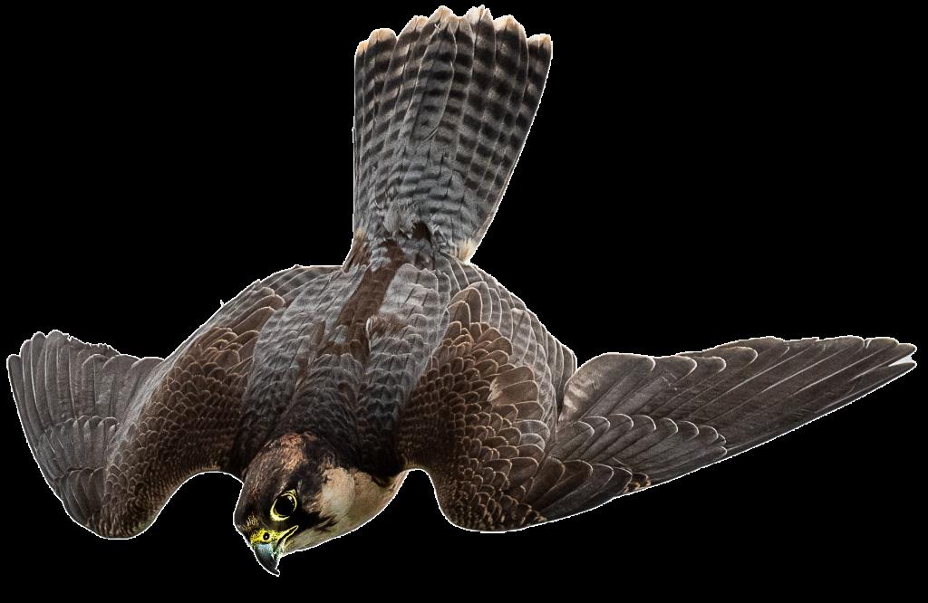 Otto - Peregrine x Lanner Falcon
