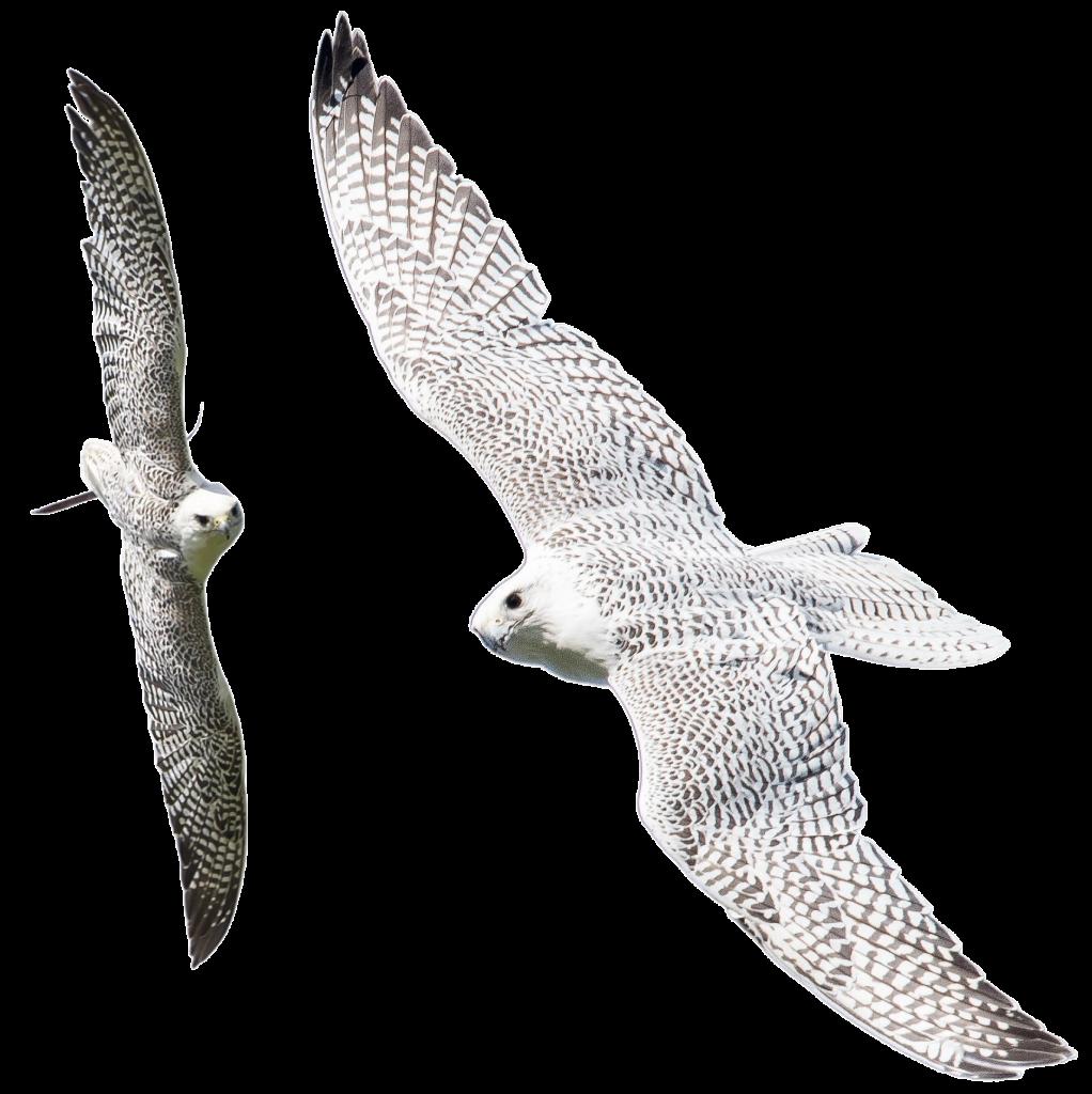Merlin and Grace - Gyr Falcons