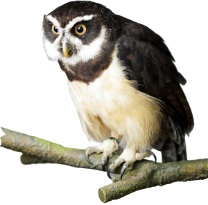 Domino - Spectacled Owl