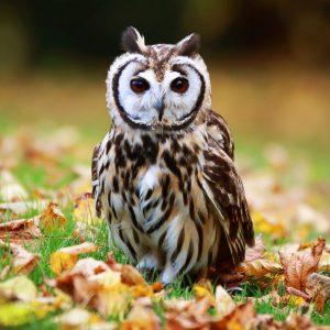 Todd - Gyr x Lanner Falcon