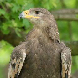 Surrenna - Steppe Eagle