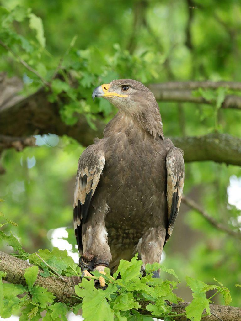 Surrena - Steppe Eagle