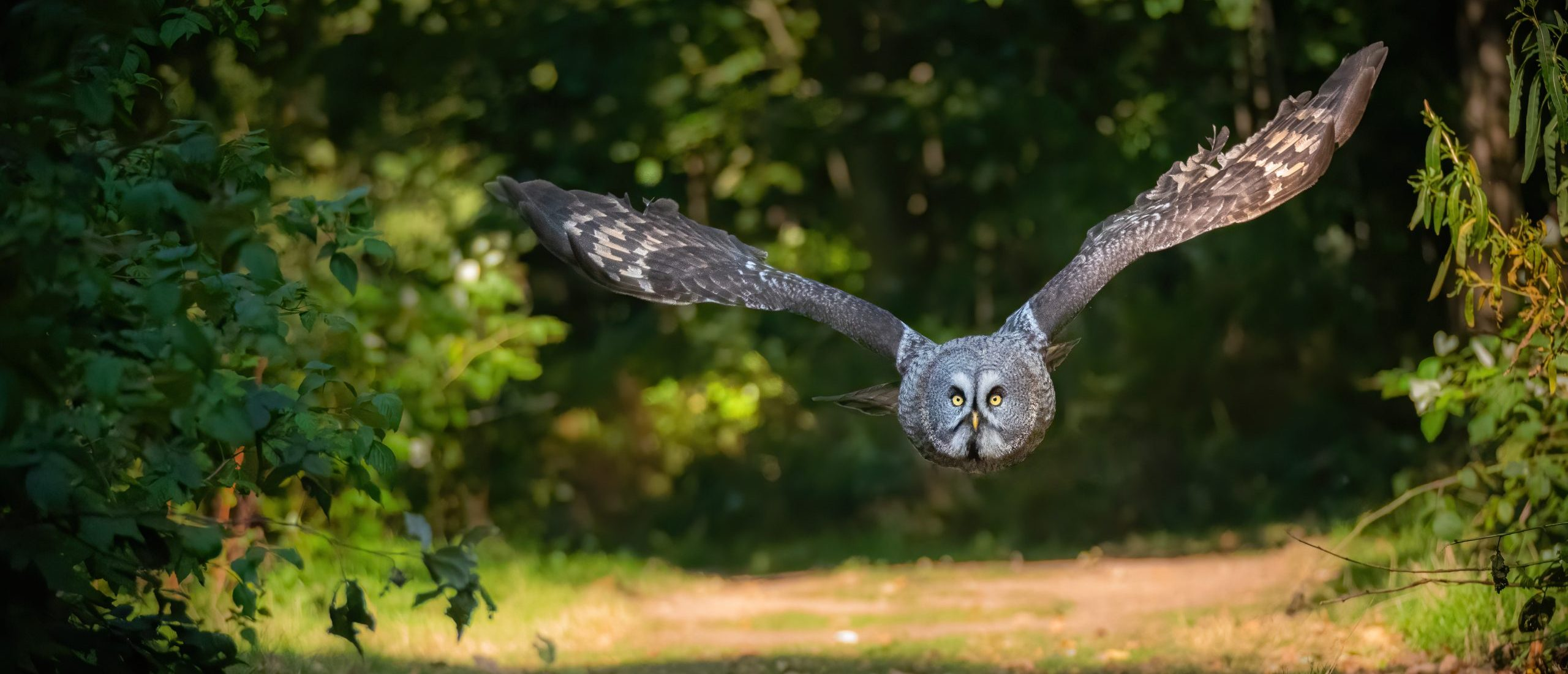 Bluebell - Great Grey Owl at Thoresby Park