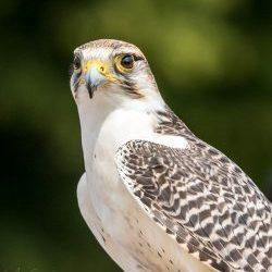 Sweeney - Gyr x Lanner Falcon
