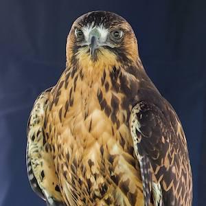 Rusty - Red-Backed Hawk