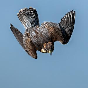 Otto - Peregrine Falcon