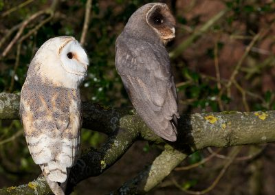 Barn Owl and Melanistic Barn Owls