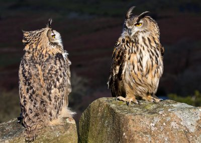 Eagle Owls at Clee Hill, Shropshire
