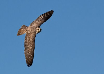 Saker Falcon at Clee Hill