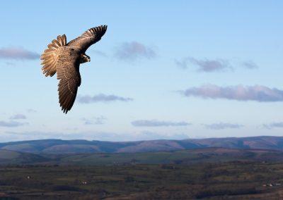 Saker Falcon at Clee Hill, Shropshire