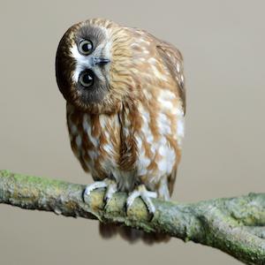Twix - Boobook Owl