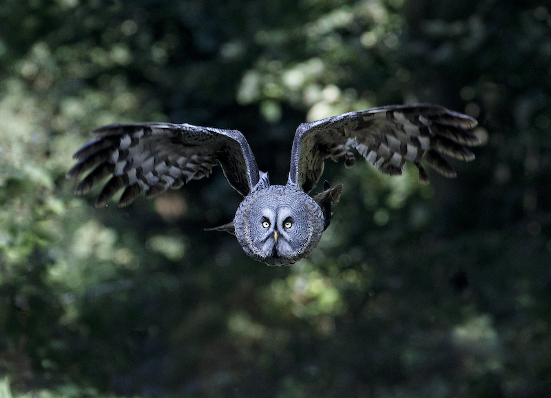 Bluebell - Great Grey Owl