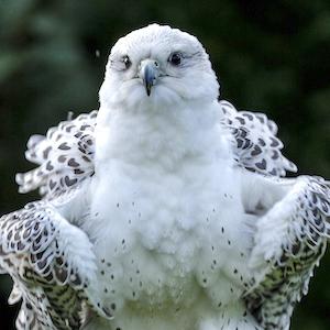 Grace - Gyr Falcon
