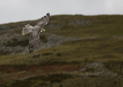Lanner Falcon at Clee Hill, Shropshire