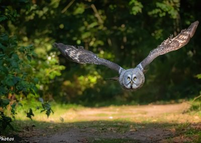 Great Grey Owl at Thoresby Park, Nottinghamshire