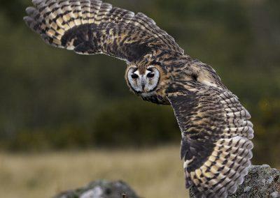 Peruvian Striped Owl