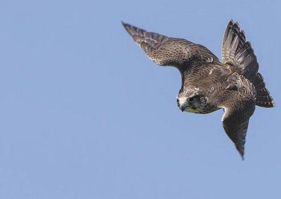 Gyr x Lanner Falcon