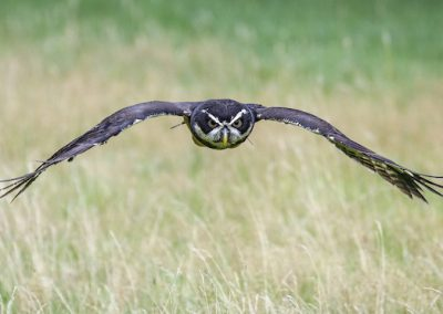 Spectacled Owl at Thoresby Park, Nottinghamshire
