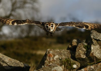Striped Owl in Flight at Clee Hill, Shropshire