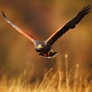 Trigger - Harris Hawk